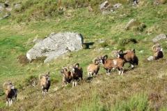 Troupeau de mouflons dans le Sancy